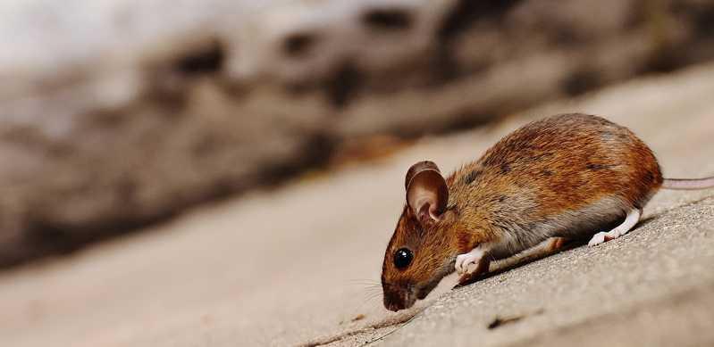 Disinfestazione da topi e insetti: può essere fatta in modo ecologico?