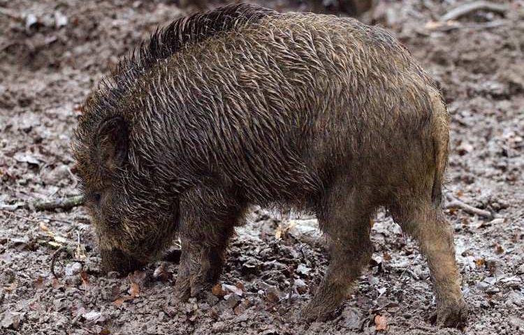 Cinghiali, Caramanica (RA): ministro Centinaio amico delle lobby della caccia