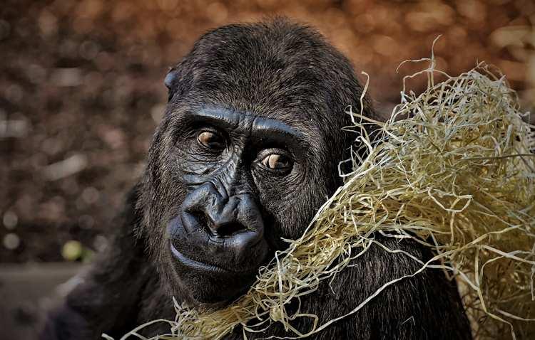 """Scimmie, Rivoluzione Animalista: """"clonazione inutile e illogica"""""""