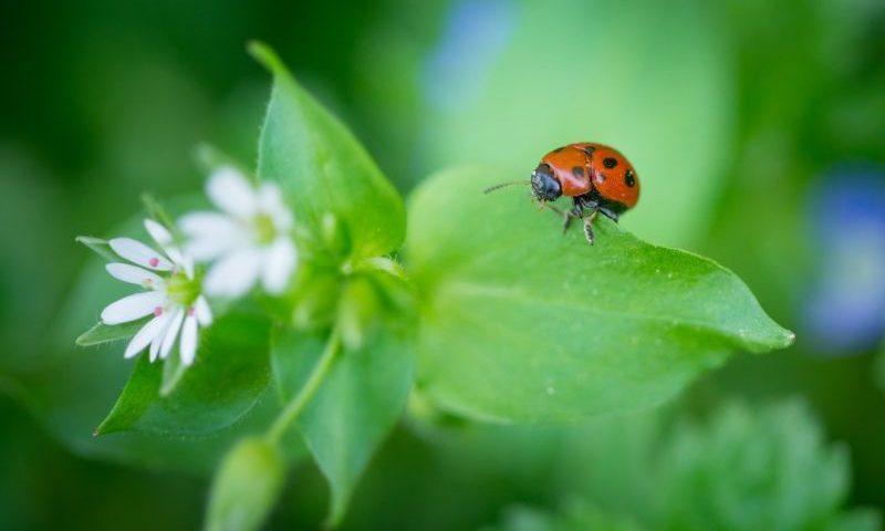 Lotta Biologica: la coccinella un insetto utile